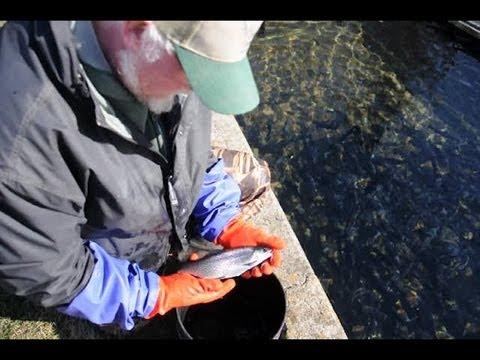 Fish Hatcheries