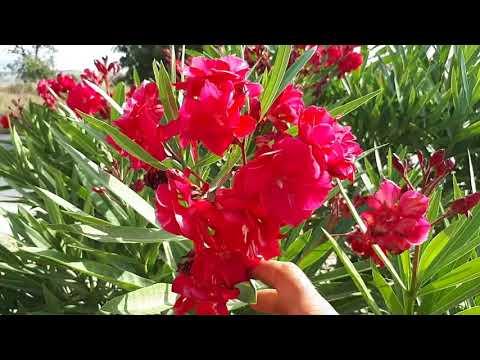 ADELFA una de las Plantas mas TÓXICA del MUNDO/El ratillo de JV
