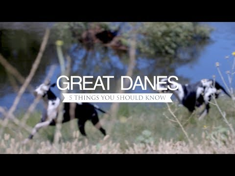 GREAT DANES FIVE THINGS YOU SHOULD KNOW