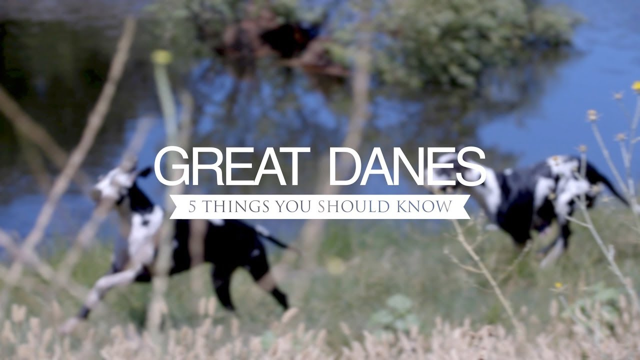 Great Danes Five Things You Should Know Youtube