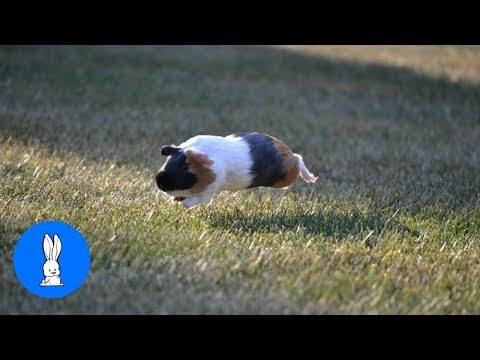 Baby Guinea Pigs Popcorning - CUTEST Compilation