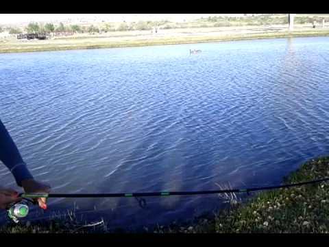 New Mexico Albuquerque Big Carp At Isleta Lakes