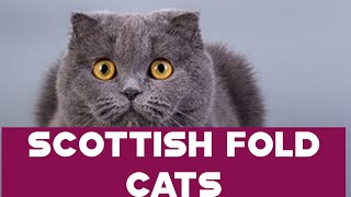 SCOTTISH FOLD CAT BREED/Beginner's Guide to cat breed