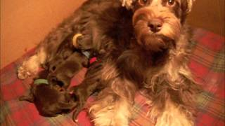 Shelby/nitro Miniature Schnauzer Puppies - Newborn