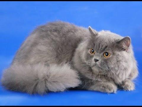 Шотландская прямоухая порода, котята скоттиш страйт