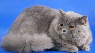 Шотландская длинношерстная кошка хайленд страйт