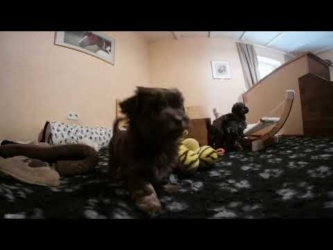 Dog Puppies VR 360 Experience  - Bolonka puppy 3D