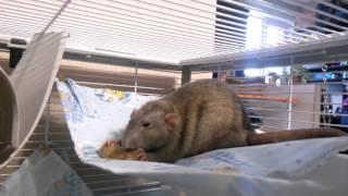 Крысопарни едят куриные шейки