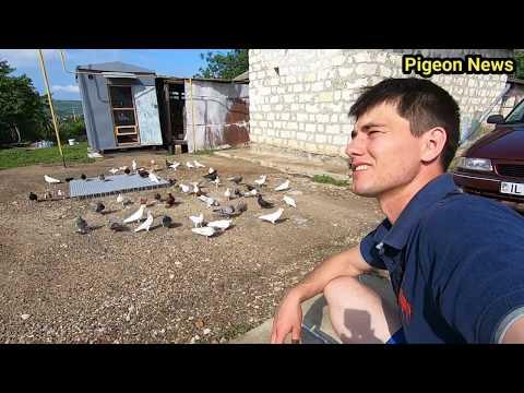 Вопрос: Почему голуби (птицы) отличаются есть чистые ухоженные, а есть облезлые?