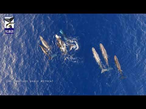 A sperm whale family in action, Hellenic Trench, Greece - Οικογένεια φυσητήρων σε δράση, Ελλάδα