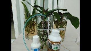 호접란 수경재배 비료 주는 방법과 효율적 물빼는방법.H…