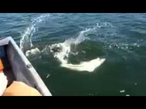 Shark fishing tomales bay youtube for Tomales bay fishing report