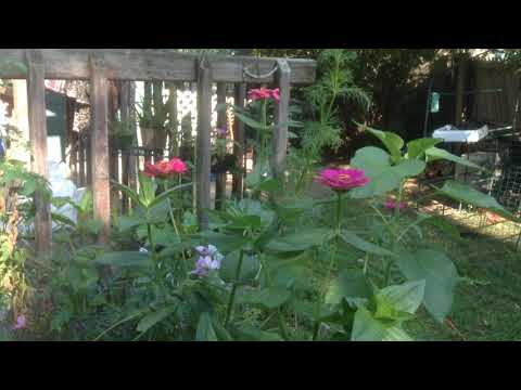 Giant zinnia 4 1/2 foot giant cosmos flowers 5 foot tall great genetics all organic