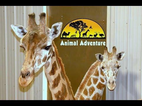 Tajiri the Giraffe Cam