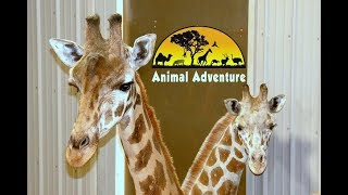 Tajiri the Giraffe Cam - Animal Adventure Park thumbnail