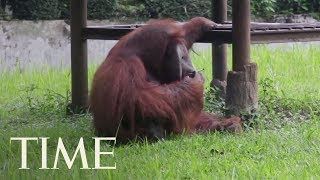 Video Of Smoking Orangutan Puts Pressure On Indonesian Zoo With A History Of Animal Abuse | TIME