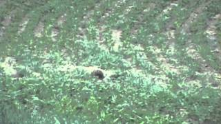 Pennsylvania Wild Hog Hunting - Wildlife Game Masters