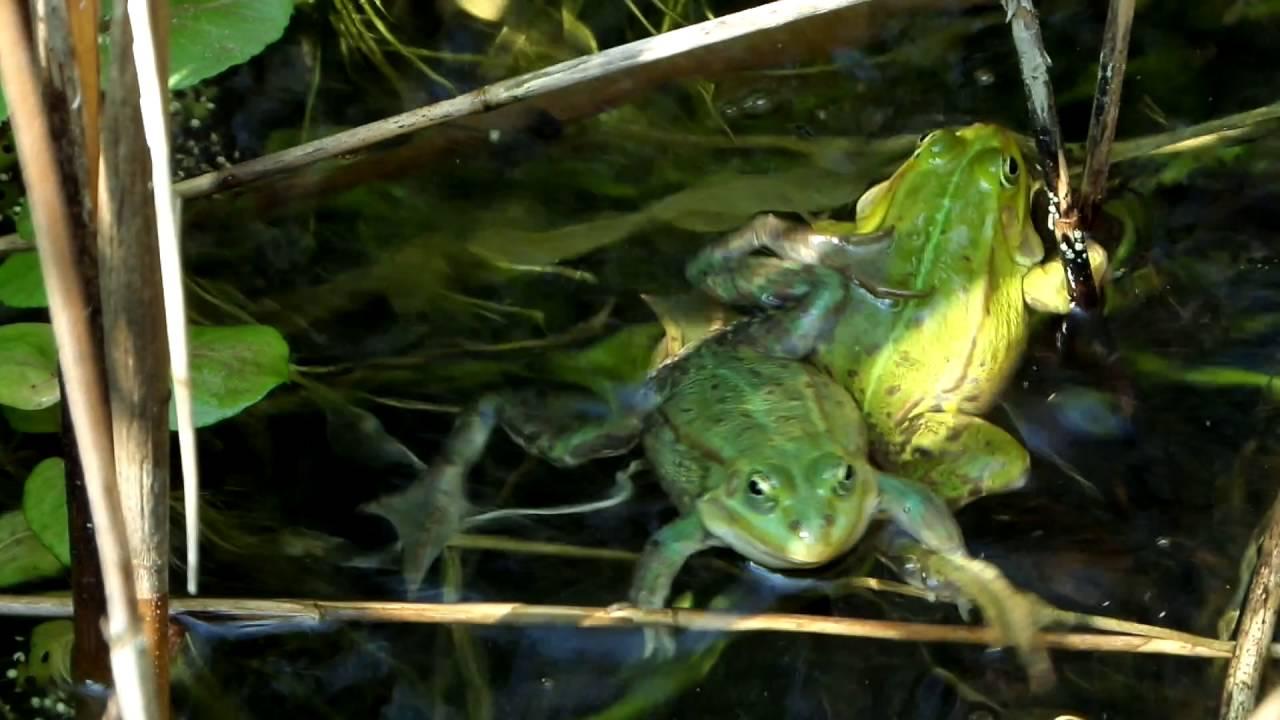 Frosch Quakt