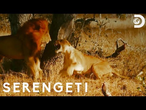 Lioness Fights Off Male Lions | Serengeti