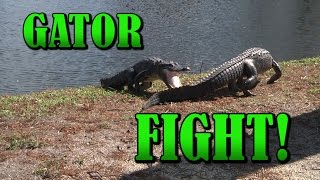 alligators fighting   close up intense raw video   gator fight   crocodile vs crocodile