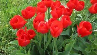 Дима ньюс выпуск 151! Цветет персик, вишня, черешня, яблоня, груша и тюльпаны! Весна на юге России!