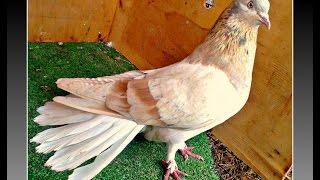 Николаевские голуби. (тренировка 2) КРЫМ(Это видео создано с помощью видеоредактора YouTube (http://www.youtube.com/editor), 2014-11-18T16:12:30.000Z)