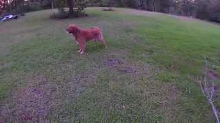 Golden Retriever's Life Filmed By Drone