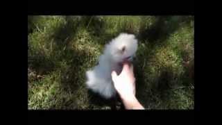 Dolce - Pomeranian - 3 Months Old