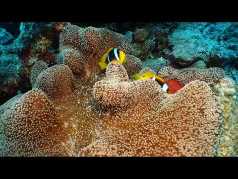 Clown Fish, Star Of The Coral Reefs