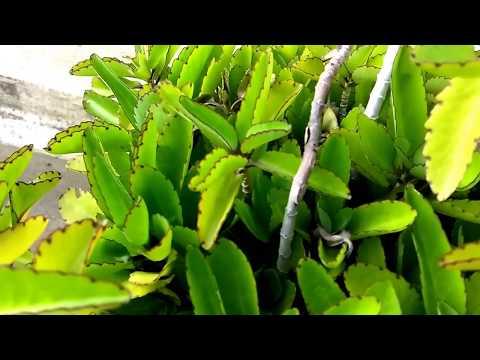Bryophyllum pinnatum - Air Plant - Cathedral Bells - ரணகள்ளி