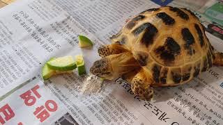 애호박 먹방중인 호스필드육지거북 Land turtle …