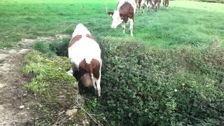 vache cascadeuse parochettes