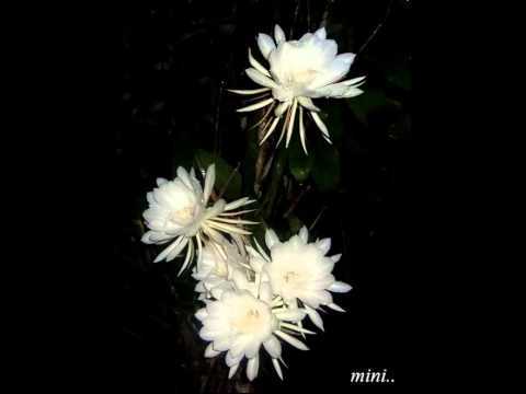 Nishagandhi Poothu Kinamanju Peythu..!!(Mini Anand)