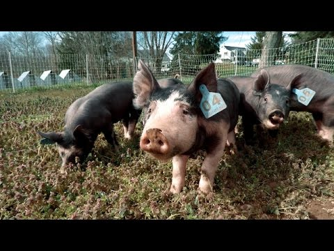 Berkshire Pigs Going Out On Pasture