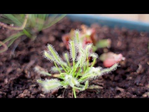 Equilibrio Carnivorous Plants Carnivorous Plants Online