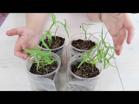 ИПОМЕЯ. Посев семян на рассаду