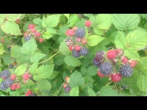 """Чёрная малина """"Камберленд"""" первые ягоды!!!Полезные свойства!!!"""