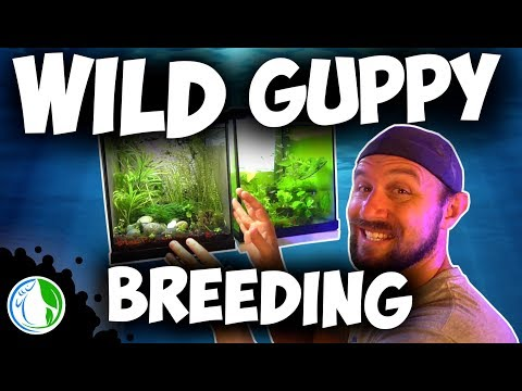 WILD GUPPY BREEDING IN AN AQUARIUM FISH TANK