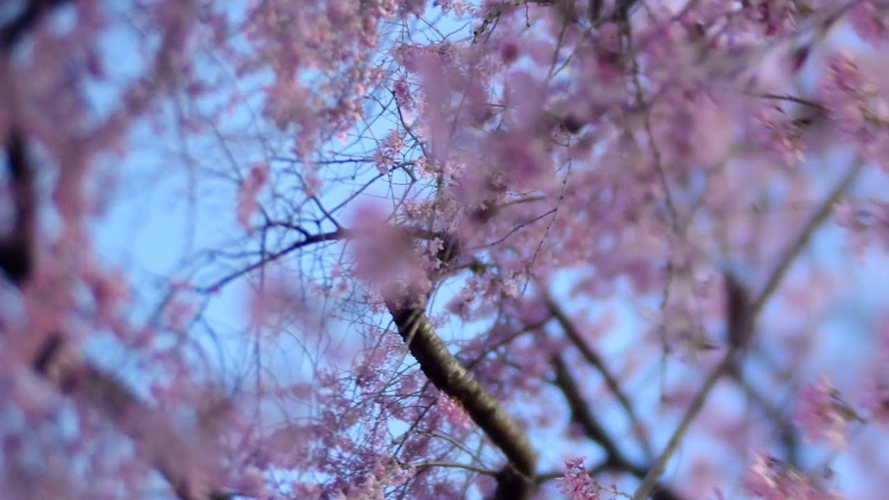Just A Light Pink Flowering Tree Youtube