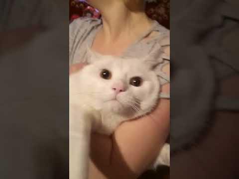 Вопрос: Какие породы кошек любят сидеть на руках?