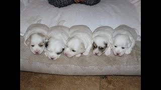 Coton Puppies For Sale - Kara 10/13/20
