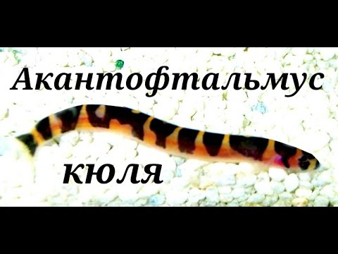 рыбки акантофтальмус фото