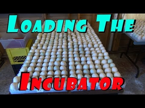 Loading The Incubator With 567 Duck & 12 Goose Eggs #5 Hatching Ducklings Ducks