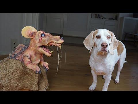 Dogs vs Mutant Mouse: Funny Dogs Maymo, Potpie & Penny