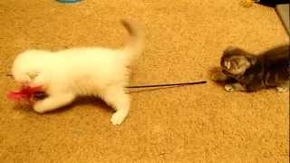 Шотландские котята - Одесса - Ева 3