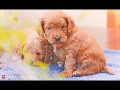 Spoodle Puppies For Sale Chevromist Kennels