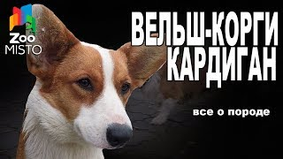 Вельш-Корги Кардиган - Все о породе собаки | Собака породы - Вельш-Корги Кардиган