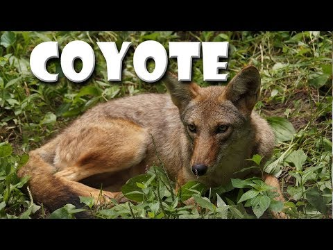Animal Fact Friday At Wildlife Prairie Park- Coyote