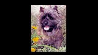 What's so special about the Cairn Terrier