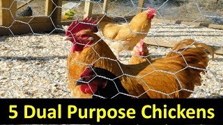 5 Dual Purpose Chicken Breeds for Your Homestead